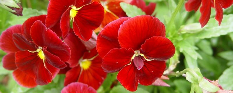 不同颜色三色堇的花语及由来