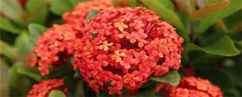 仙丹花的花语和传说