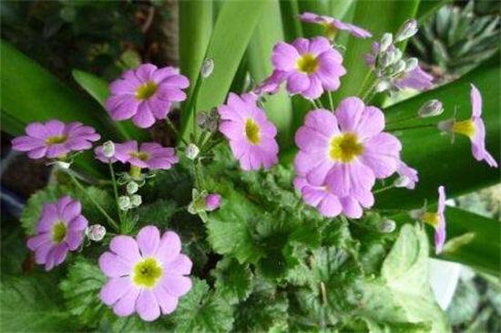 樱草花的养殖方法及注意事项