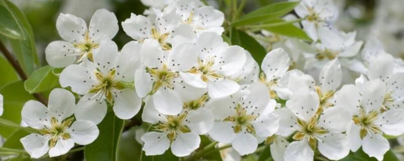 梨树什么时候开花