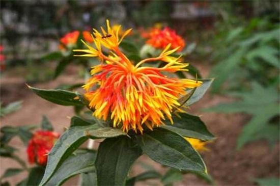 金红花的养殖绿植屋方法和注意事项