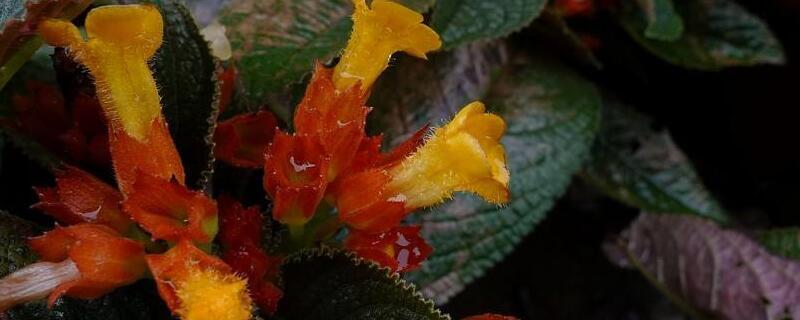 金红花的养殖方法和注意事项