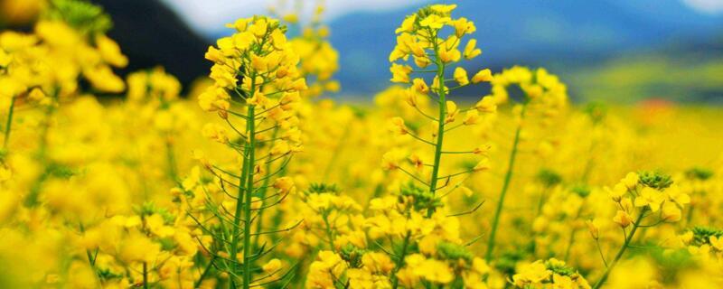 油菜花冬季开花吗