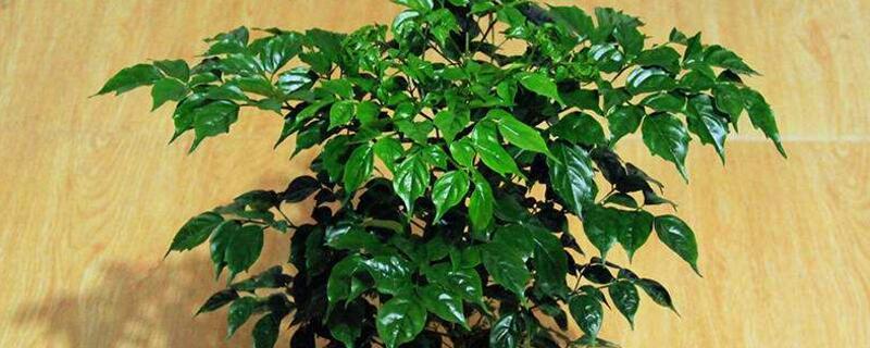 平安树有毒吗