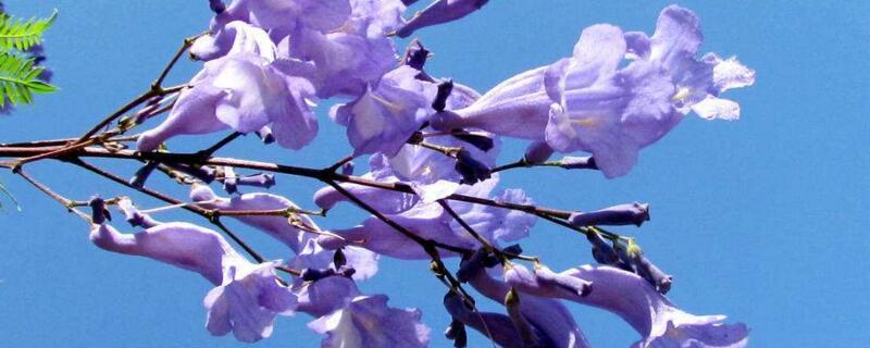 蓝花楹什么时候开花