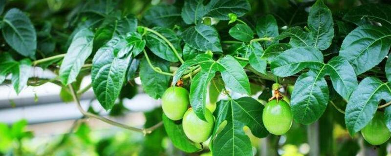 橄榄树的养殖方法和注意事项