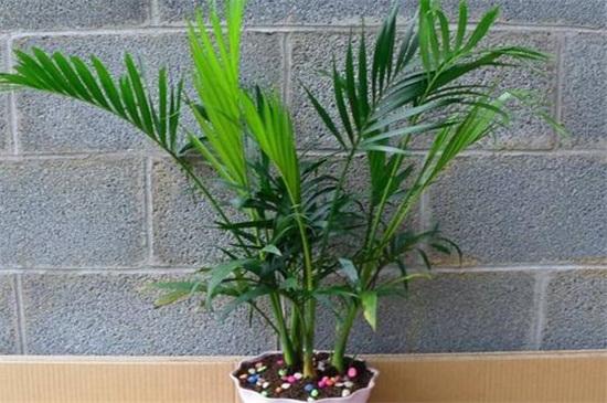 散尾葵可以绿植屋放在卧室吗