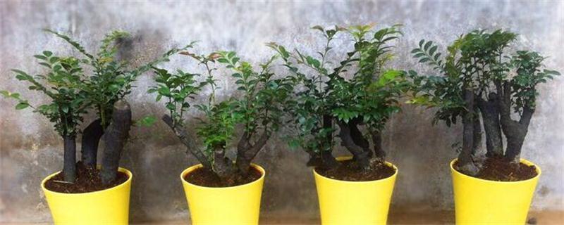小叶紫檀盆景的养护方法和注