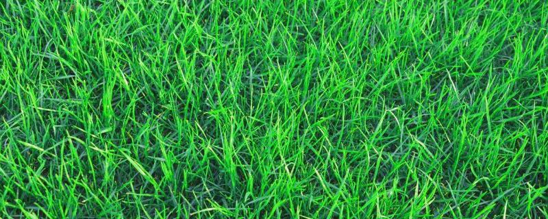 黑麦草什么时候播种