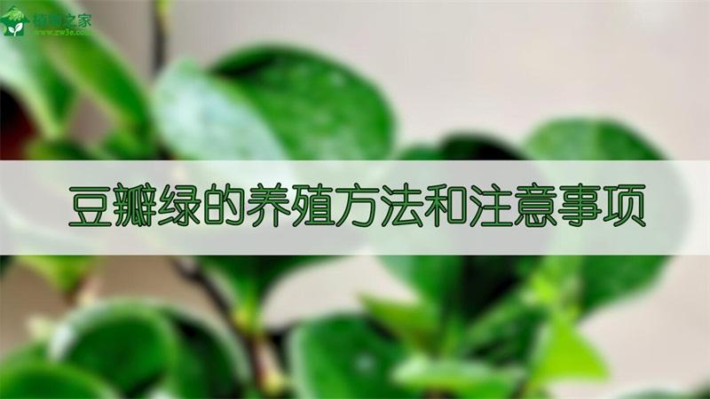 豆瓣绿的养殖方法和注意事项