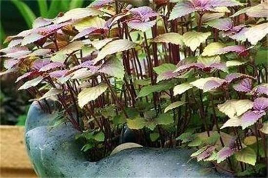 家种紫苏的窍门