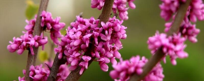 紫荆的冬天养殖禁忌