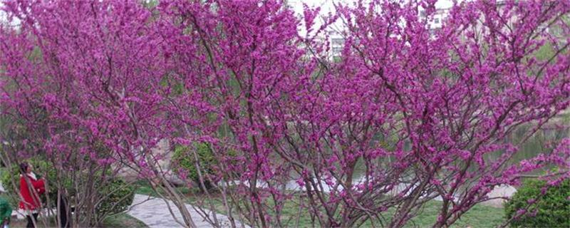 紫荆树和紫荆花的区别
