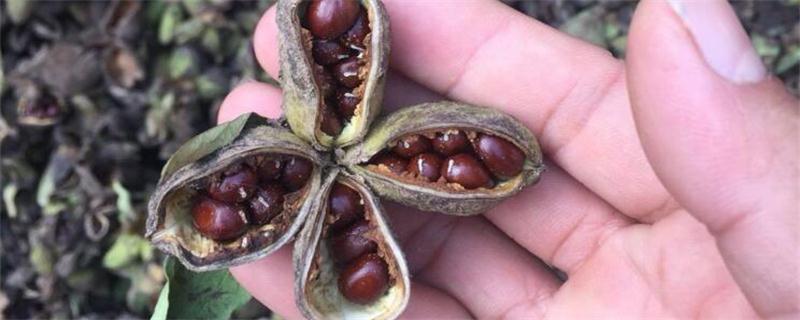 芍药种子什么时候成熟