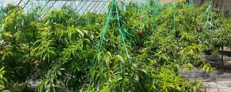 大棚西红柿几月份种