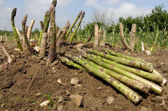 芦笋种植技术