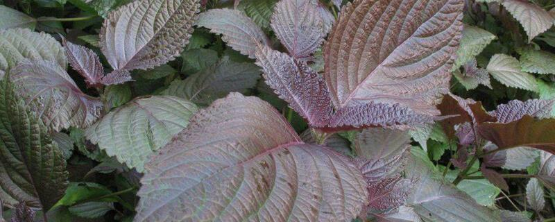 紫苏一亩能产多少斤