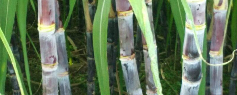 一亩甘蔗有多少利润