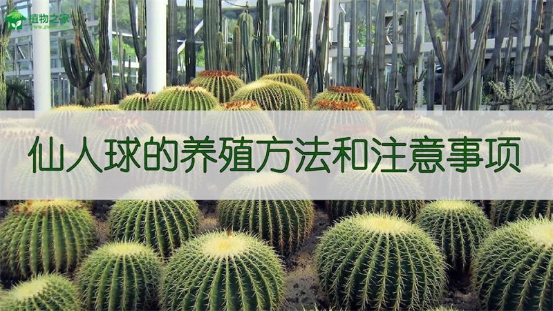 仙人球的养殖方法和注意事项