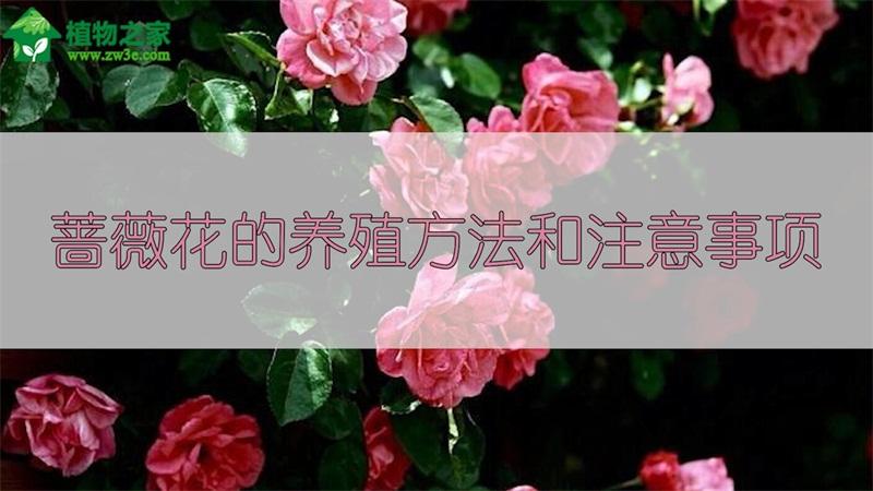 蔷薇花的养殖方法和注意事项