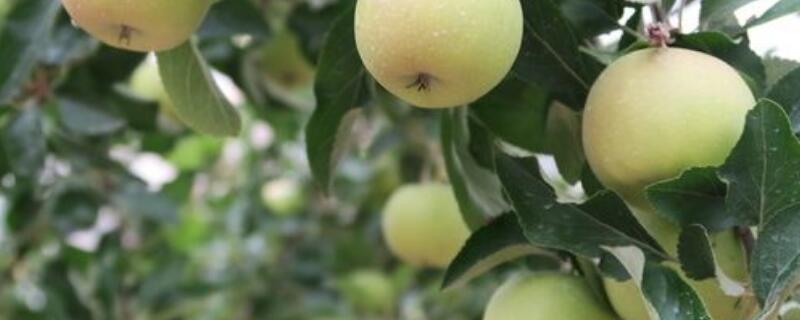 苹果树栽培及管理技术
