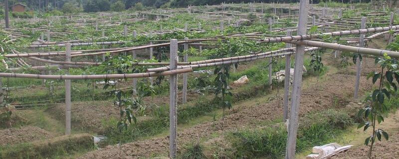 20亩百香果能收益多少