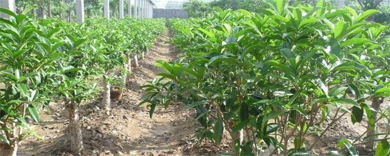 桂花树种植技术