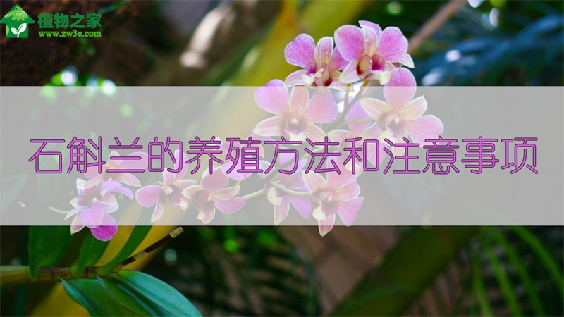 石斛兰的养殖方法和注意事项