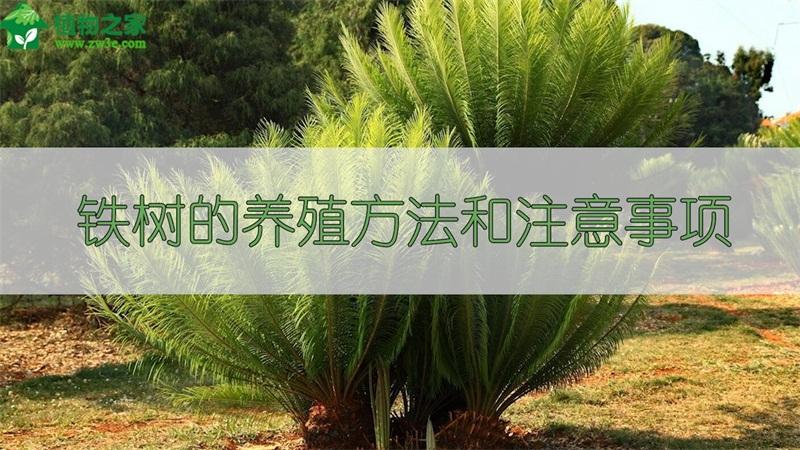 铁树的养殖方法和注意事项