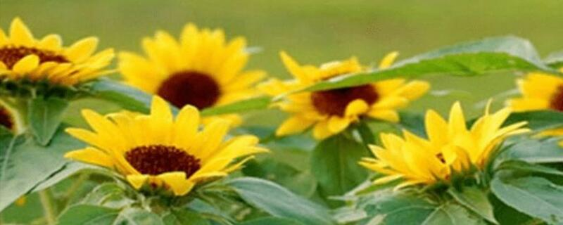 向日葵栽培技术