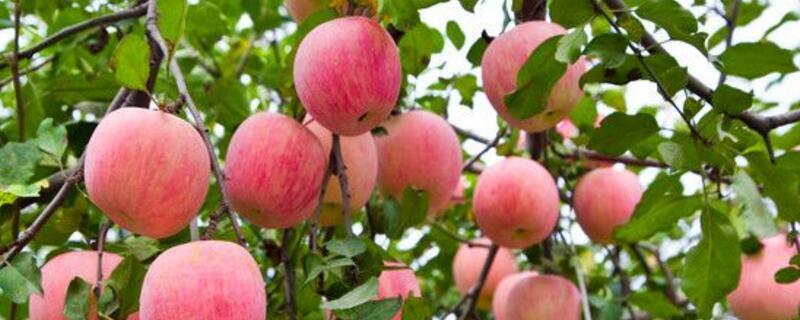 一亩地种多少苹果树