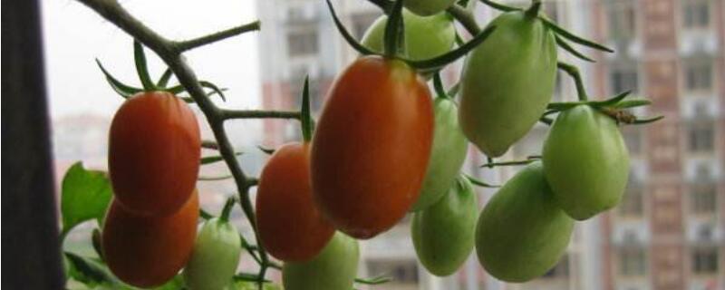 怎么盆栽西红柿