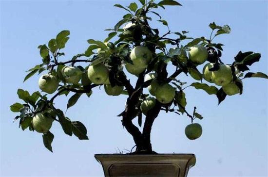 苹果树怎样栽种