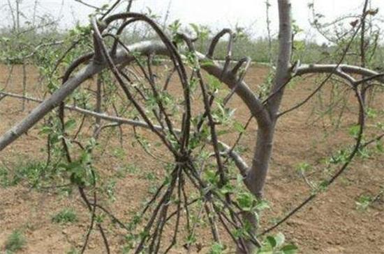 苹果树移栽后几年拉枝
