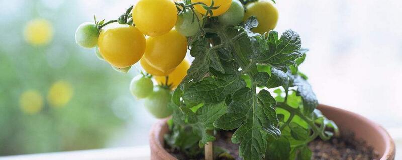 盆栽西红柿的种植方法
