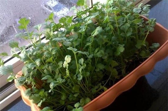 香菜的种植方绿植屋法及注意事项