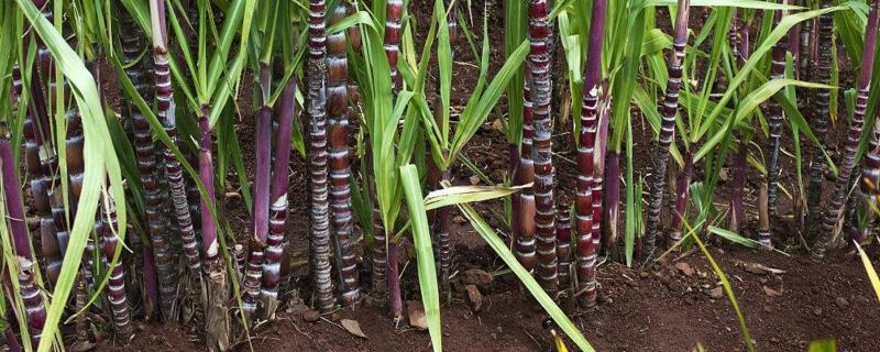 甘蔗种植技术