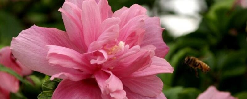 盆栽木槿花怎么养