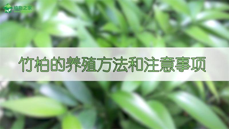 竹柏的养殖方法和注意事项