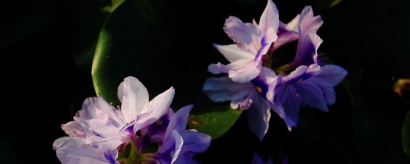 水浮莲与水葫芦的区别
