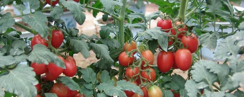 圣女果种植技术_盆栽小番茄要多久结果