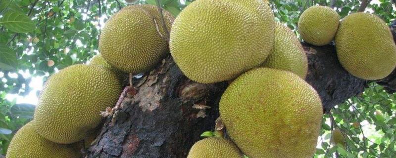 菠萝蜜几月份最好吃