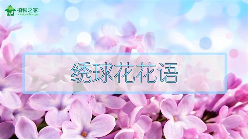 绣球花花语