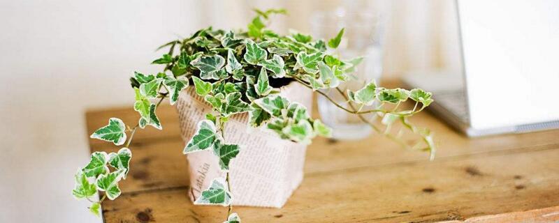 最适宜放在卧室的植物