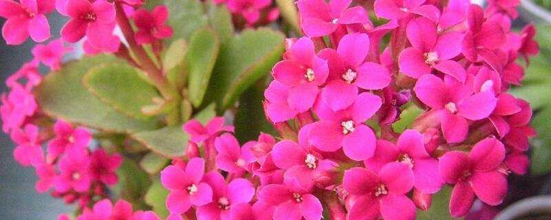 长寿花最好品种及图片