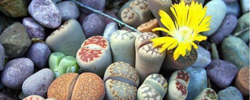 生石花怎么播种