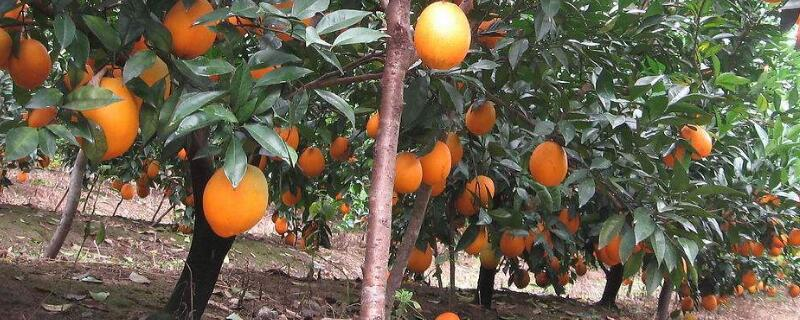 橙子树的繁殖技术