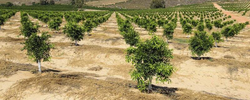 橙子树怎么剪枝
