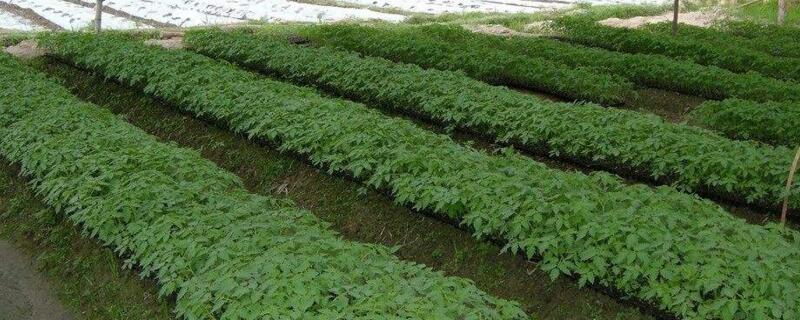 大棚番茄种植管理技术