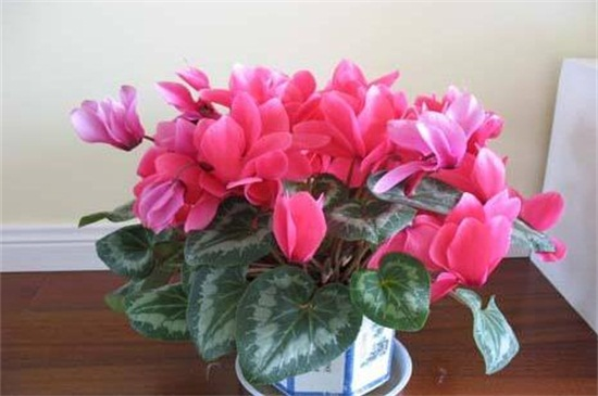 适合家里养的18种花